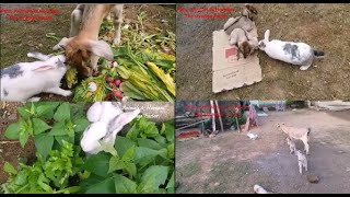 Funny & Lovable Pet Rabbit Complication   Munnu & Kunnu's  Series of cutest Moments collection Part1