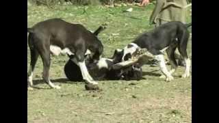 Repeat youtube video Ghadi Nasal Owned by Raja Mahboob Khan Derby U.K...BANN RAJGHAAN A.K.
