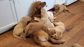Golden Retriever Dad Babysits Puppies