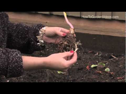 How To Plant Calla Lily Aethiopica Zantedeschia Youtube