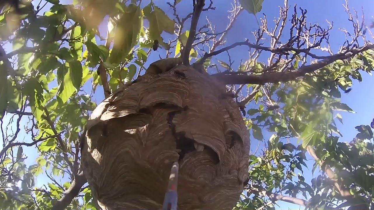 nid de frelons asiatique à Alès 30100