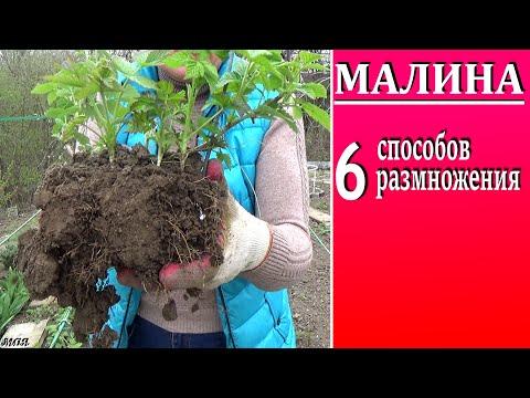 Размножение малины     6 проверенных способов