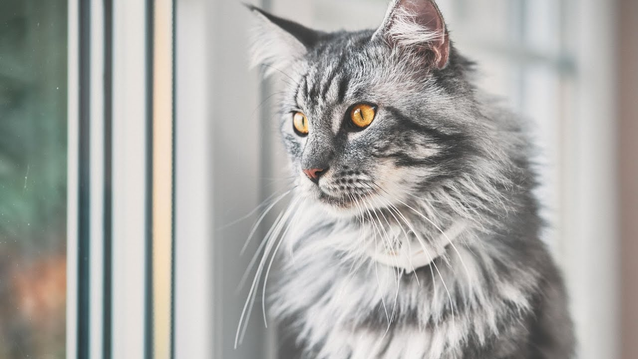 How Much Do You Know About Maine Coon Cats Youtube