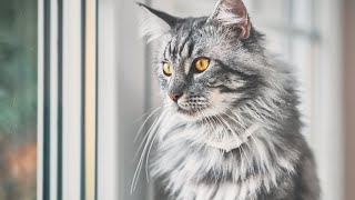 How much do you know about Maine Coon cats