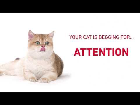 Royal Canin Digital Ad Featuring British Shorthair Cat