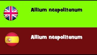 FROM ENGLISH TO SPANISH = Allium neapolitanum