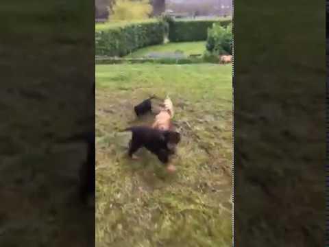 Felindre Cockapoo puppy garden races