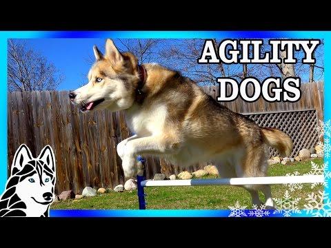 JUMP OVER EVERYTHING |  CAN HUSKIES DO AGILITY | DOG AGILITY