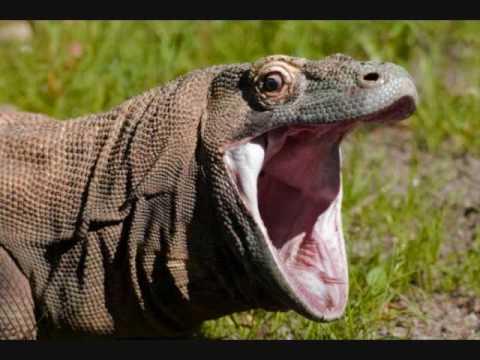Amazing Reptiles: The Komodo Dragon - YouTube  Amazing Reptile...