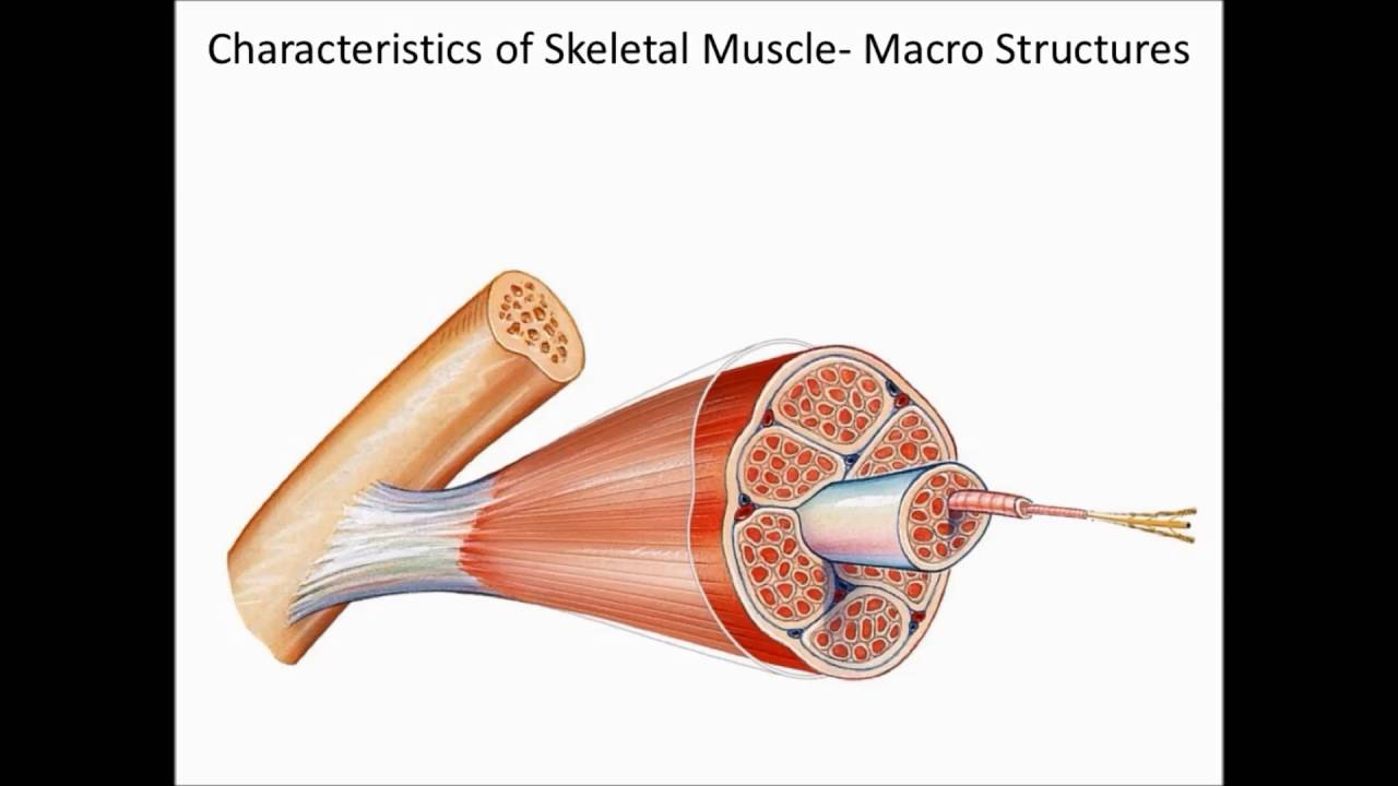 Chapter 7 Introduction to Muscles, Types, Functions, Macro and Micro ...