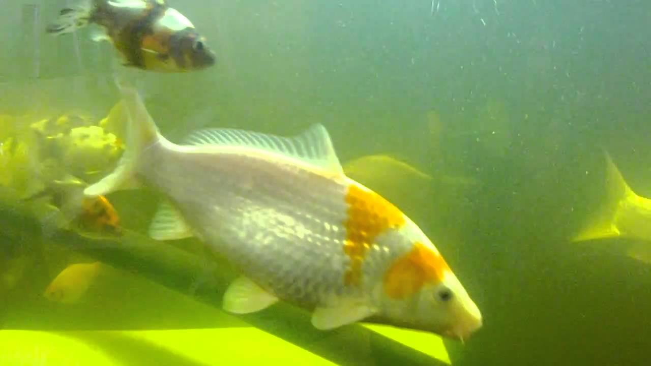 Koi and gold fish in my 75 gallon tank youtube for Koi vs goldfish