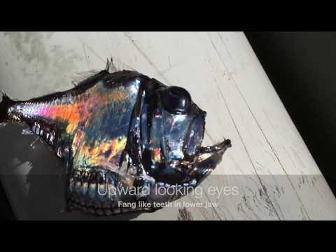 Atlantic Silver Hatchetfish