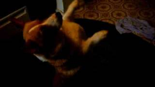 Welsh Corgi Tricks