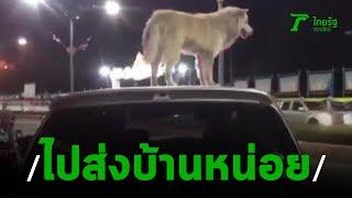 วุ่นทั้งเมืองหมาขึ้นหลังคาเก๋งไม่ยอมลง   20-08-62   ข่าวเที่ยงไทยรัฐ