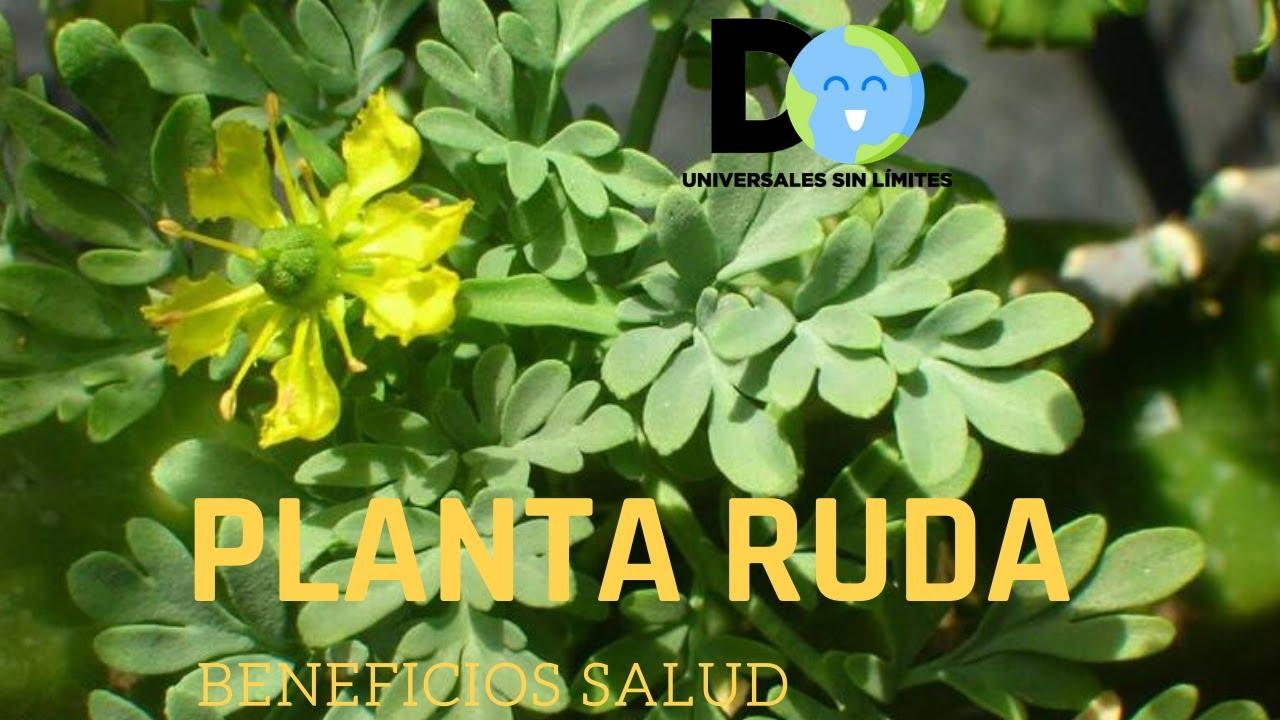 Conoce los poderes curativos de la Planta RUDA para tu Salud