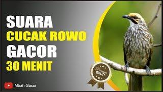 Top Hits -  Burung Mahalll Suara Cucak Rowo Gacor