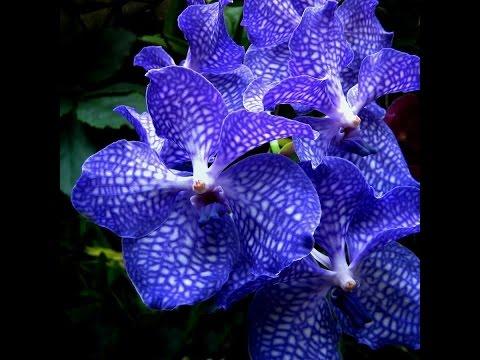 Моя новая орхидея Ванда ! Первые трудности !
