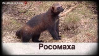 Животные на букву Р (1)