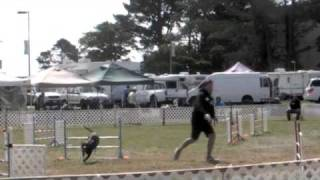 Primo The Pit Bull - Akc Agility Dog - Ferndale, Ca