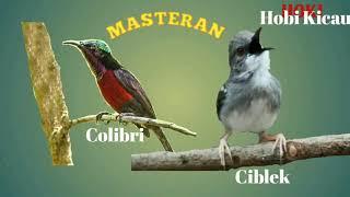 Download lagu Masteran burung kolibri kombinasi ciblek bagus buat masteran