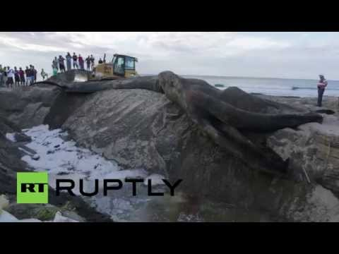 Nicaragua: Watch 60-foot blue whale get buried on Popoyo beach