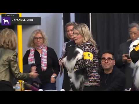 Japanese Chin | Breed Judging 2020