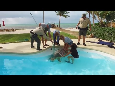 250-Pound Sea Turtle Rescued After Wandering Into Backyard Pool