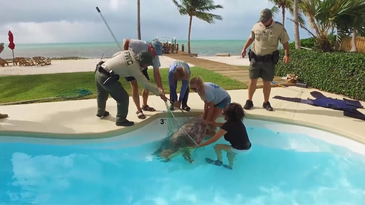 250 pound sea turtle rescued after wandering into backyard pool