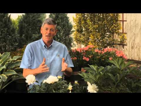 how-to-prune-peony-bushes-:-garden-savvy