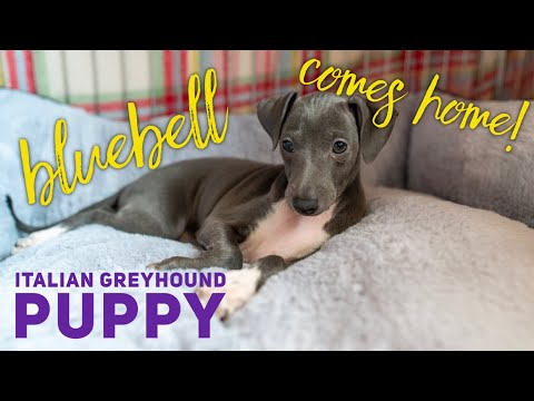 Bringing Our Italian Greyhound Puppy Home