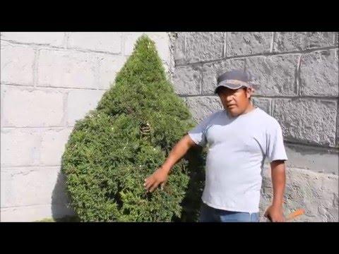 Poda topiaria cedro lim n youtube for Como podar un ciruelo de jardin