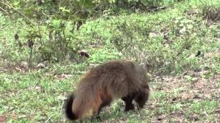 Mudumalai Wild Life Sanctury Videos - Mongoose