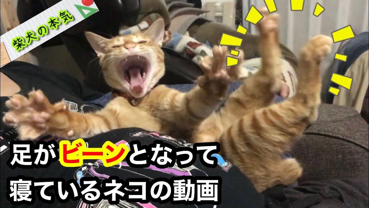 【柴猫】足がビーンと伸びたまま寝ている姿が可愛い猫の動画です
