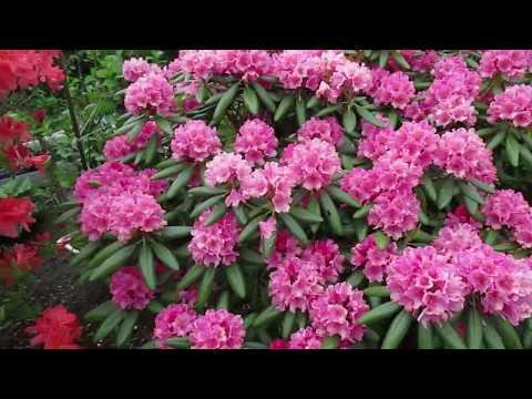 видео: 06 06 17г  Пробежка по саду  Наступил июнь, что изменилось в саду?