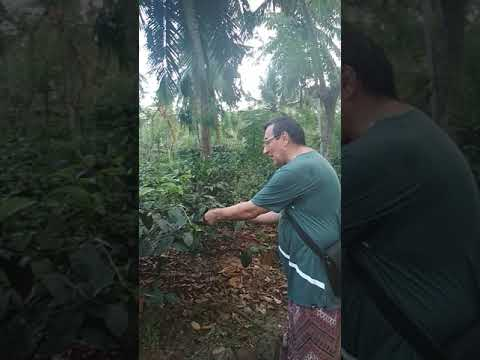 Russian Tourist Plucking Black Ceylon Tea in Sri Lanka