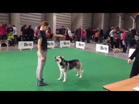 MVP České Budějovice 11.10.2015 Siberian husky, champion class, male