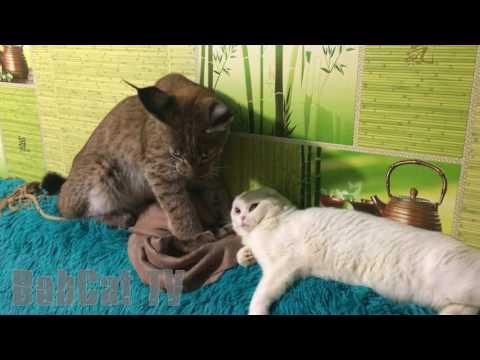 Siberian lynx gore a cat