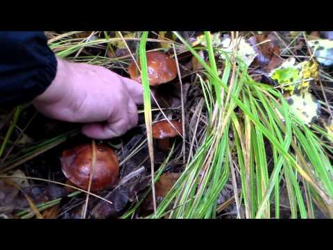съедобные грибы - польский гриб