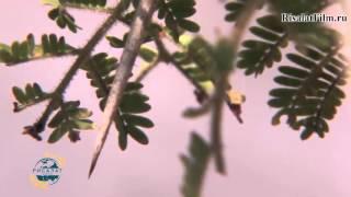 Разум растений (трейлер) risalatfilm.ru