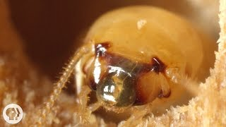 These Termites Turn Your House into a Palace of Poop | Deep Look