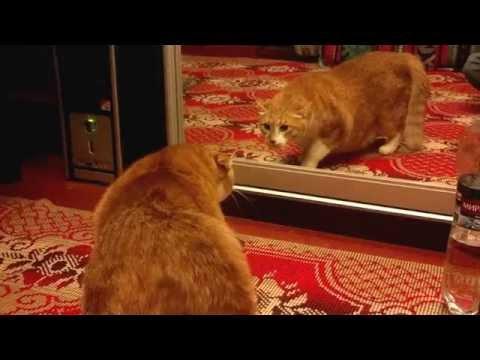 рыжий кот и зеркало / cat and the mirror