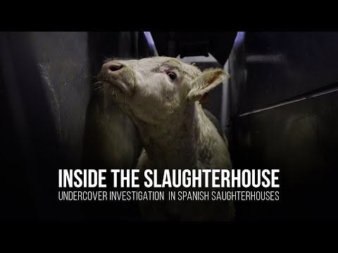 Inside the slaughterhouse. Undercover investigation in spani