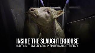 Inside the slaughterhouse Undercover investigation in spanish slaughterhouses