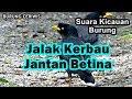 Suara Kicauan Burung Jalak Kebo Kerbau Jantan Dan Betina Buat Masteran Ok Ngalas(.mp3 .mp4) Mp3 - Mp4 Download