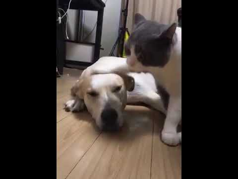 Cat Series: When a cat knocks a dog's head