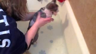 How to bathe a sphynx cat.