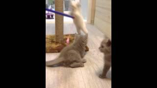 Британские котята играют. Милые котята. Купить котенка. Питомник House Arletta British