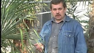 Зимний сад, пальмы.