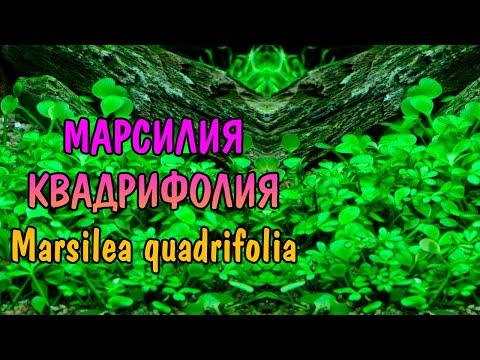 МАРСИЛИЯ КВАДРИФОЛИЯ ( Marsilea quadrifolia )