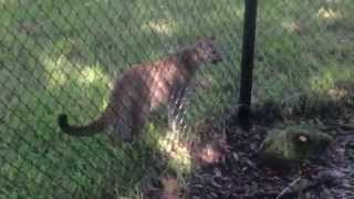 What does a panther sound like? Panthers chirp!